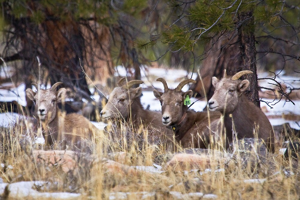Red Canyon Bighorn Ewes by Kim Barton