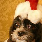Merry Christmas from one Shih Tzu to another by Susanne Correa