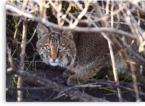 Bobcat by naturalnomad