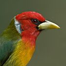 Red-Headed Barbet by Raymond J Barlow