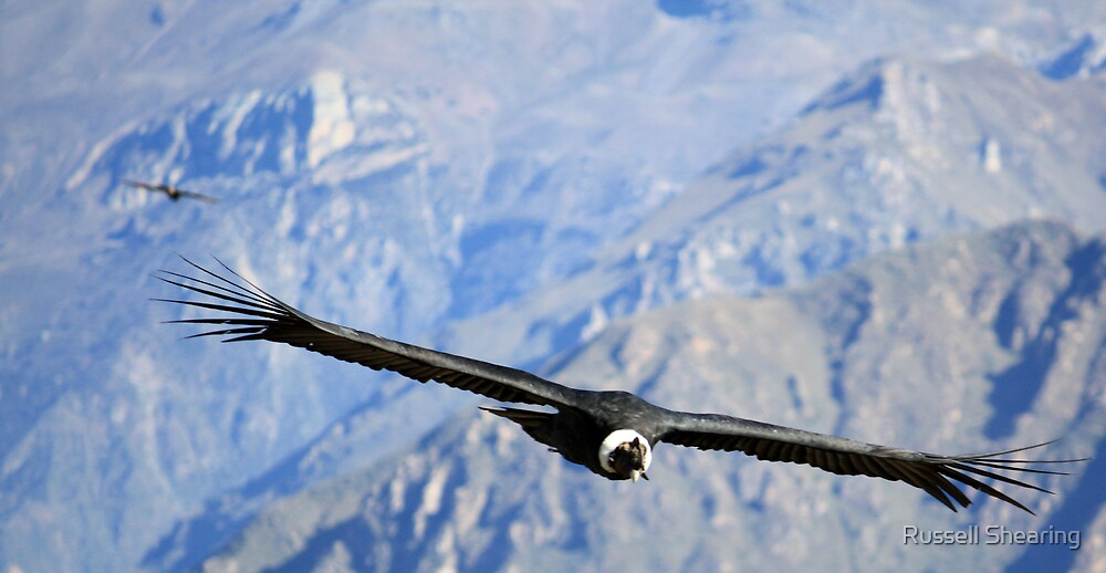 Colca Condors by Russell Shearing
