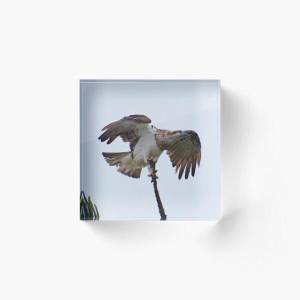WO ~ SC ~ RAPTOR ~ Eastern Osprey 2 by David Irwin 190919 Acrylic Block