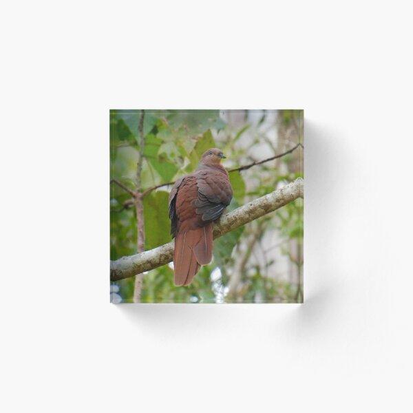 WO ~ SC ~ DOVE ~ Brown Cuckoo-Dove by David Irwin 190919 Acrylic Block