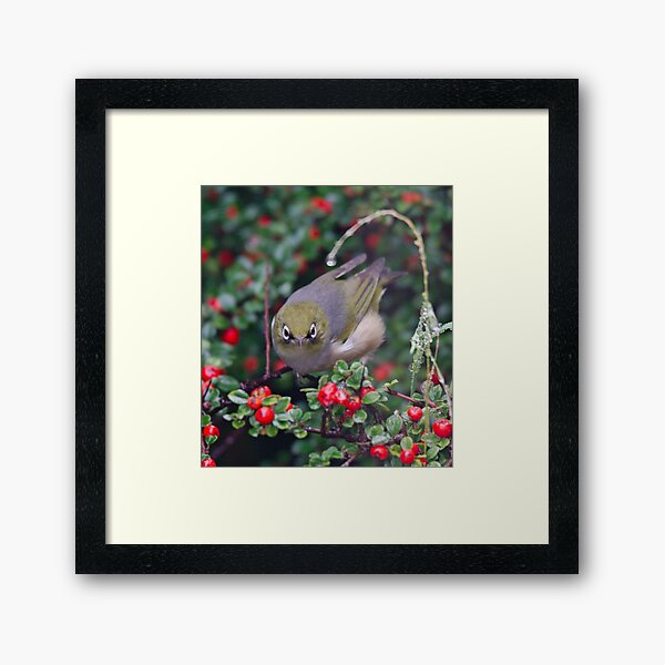 SILVEREYE ~ Grey-backed Silvereye by David Irwin 190919 Framed Art Print