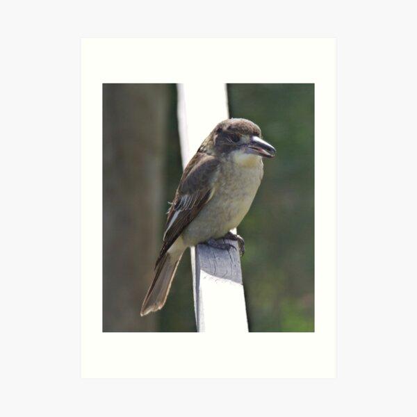 ARTAMIDAE ~ Grey Butcherbird by David Irwin 190919 Art Print