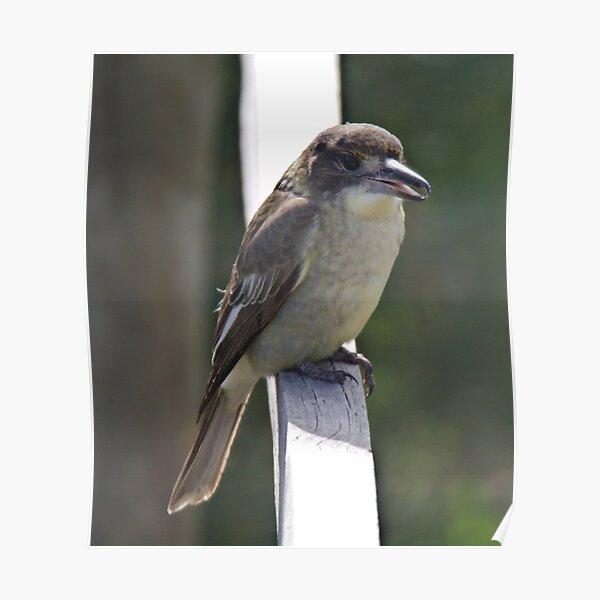 ARTAMIDAE ~ Grey Butcherbird X2PTVMUK by David Irwin 190919 Poster