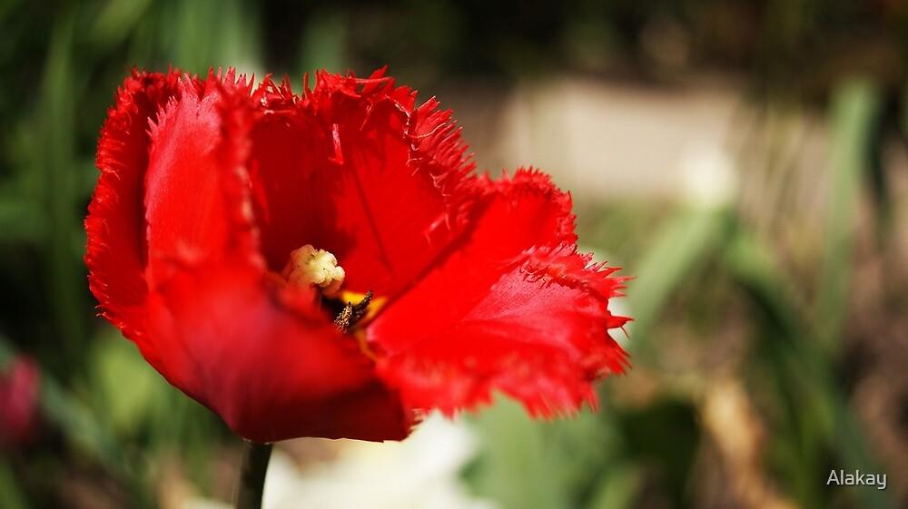 Summer Poppy by Alakay