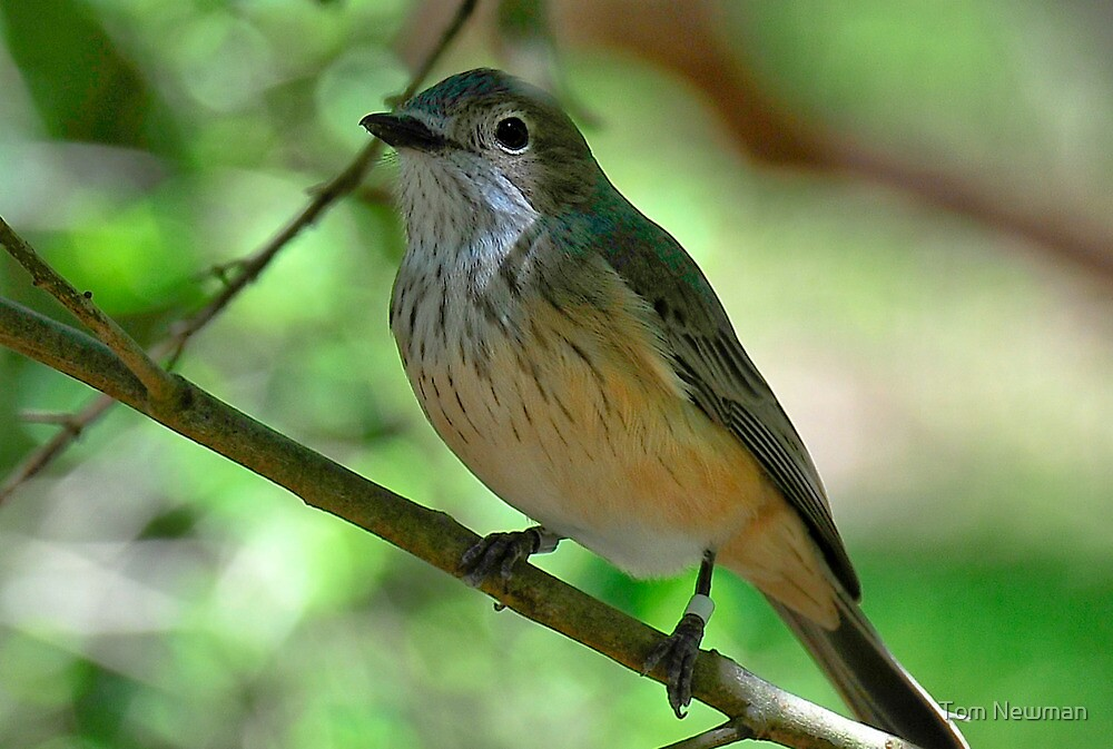 Rufous Whistler by Tom Newman