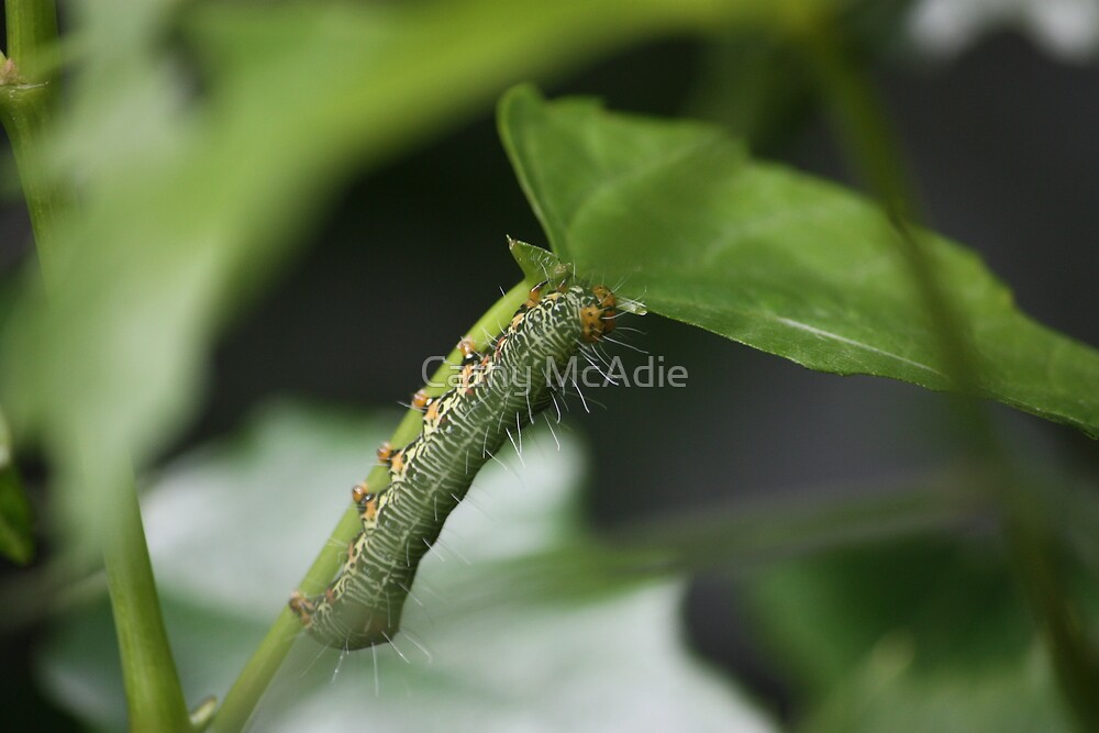 Caterpillar 2 by Cathy McAdie