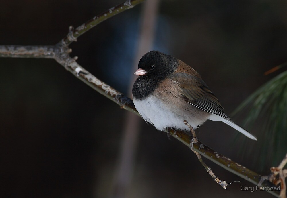 A Long Way From Home / Oregon Junco by Gary Fairhead