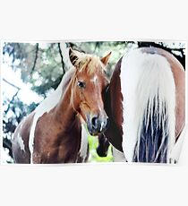 Eowyn - Grayson Highlands pony mare Poster
