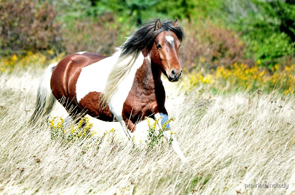 Pippin - Grayson Highlands Pony Stallion by prairiewindlady