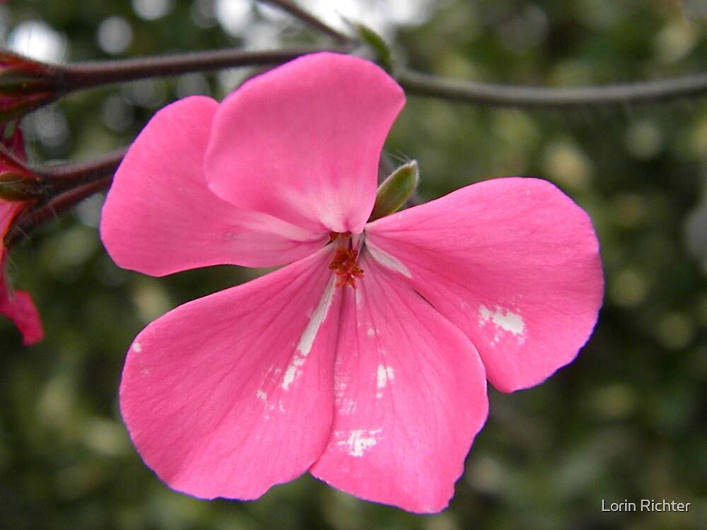 pink by Lorin Richter