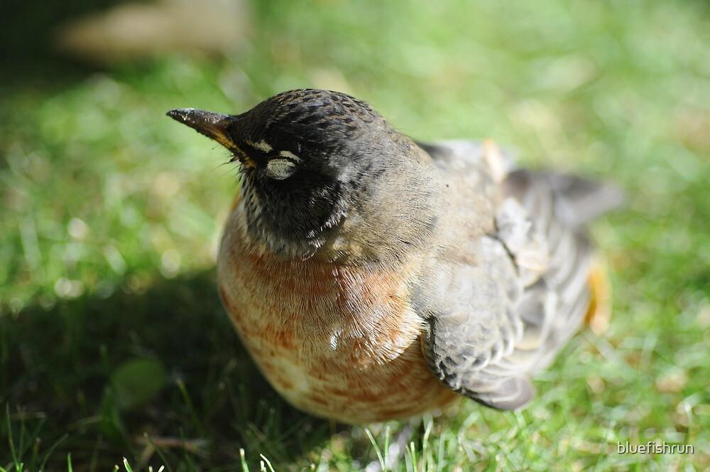 Little Robin by bluefishrun