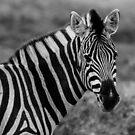 Zebra by jonwhitehead