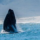 Southern Right Whale breach by jonwhitehead