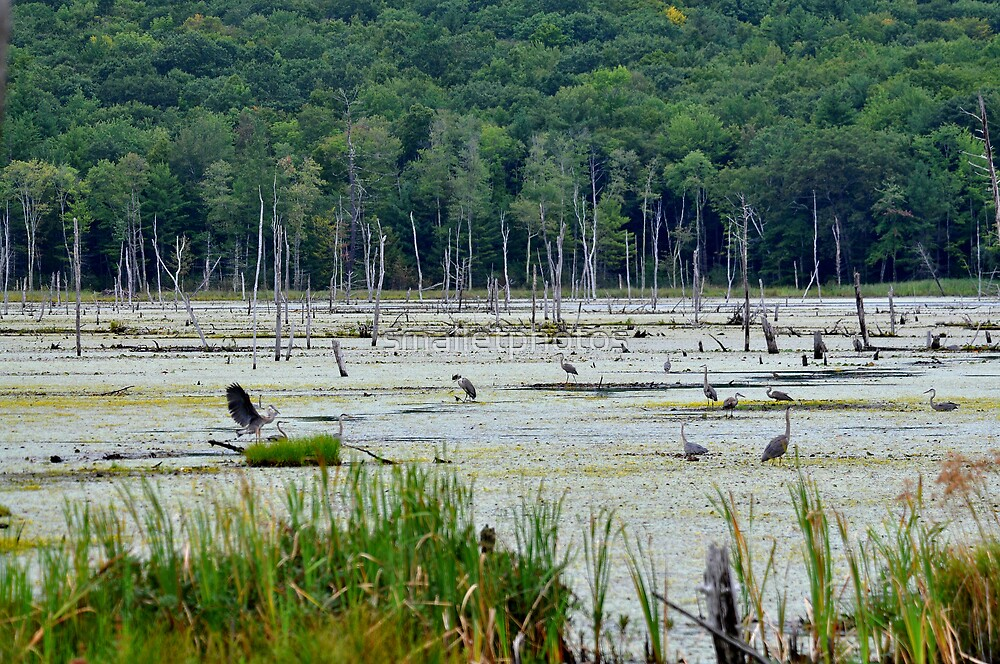 Great Blue Heron Gathering by smalletphotos