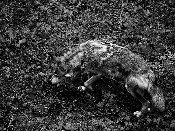 wolf by reneek20
