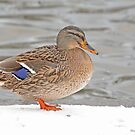 Female  Mallard on the River Wall, Prague by pogomcl