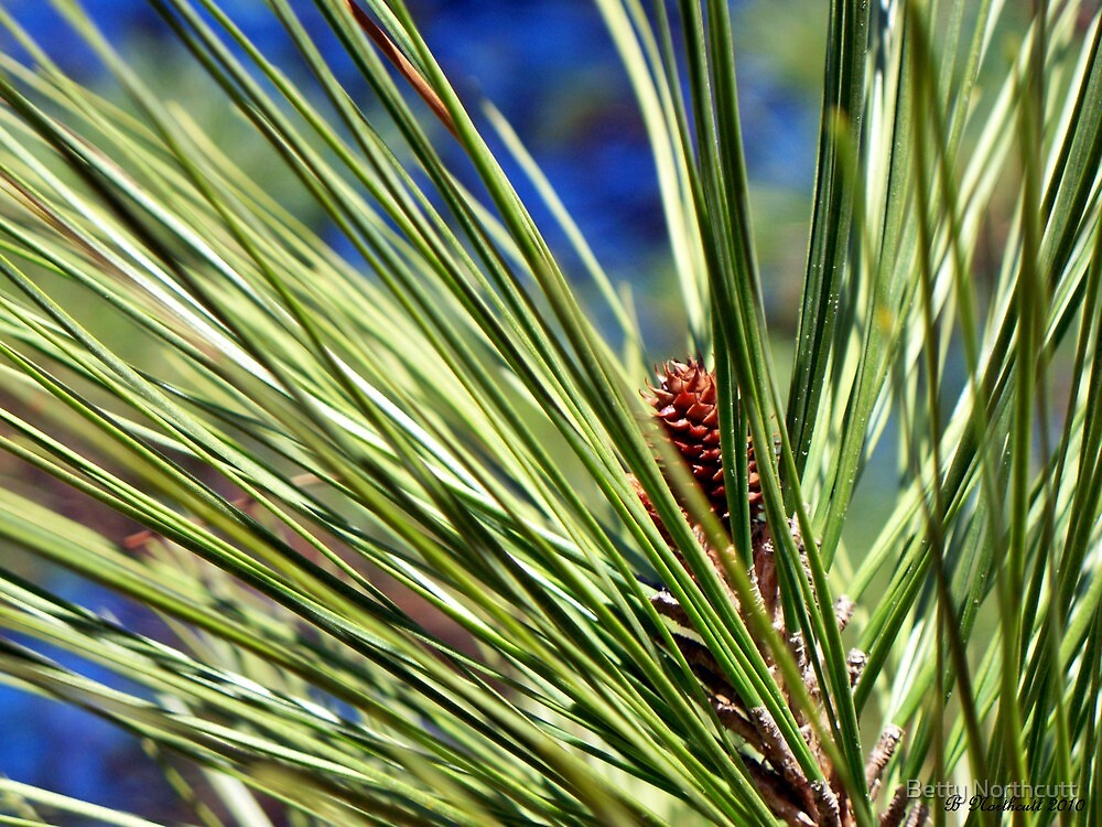 New Life - View of a new pine cone by Betty Northcutt