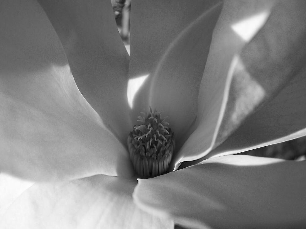Magnolia by Frewy