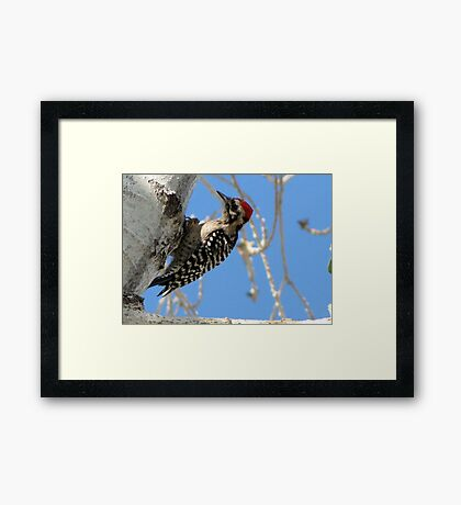 Ladder-backed Woodpecker ~ Male Framed Print