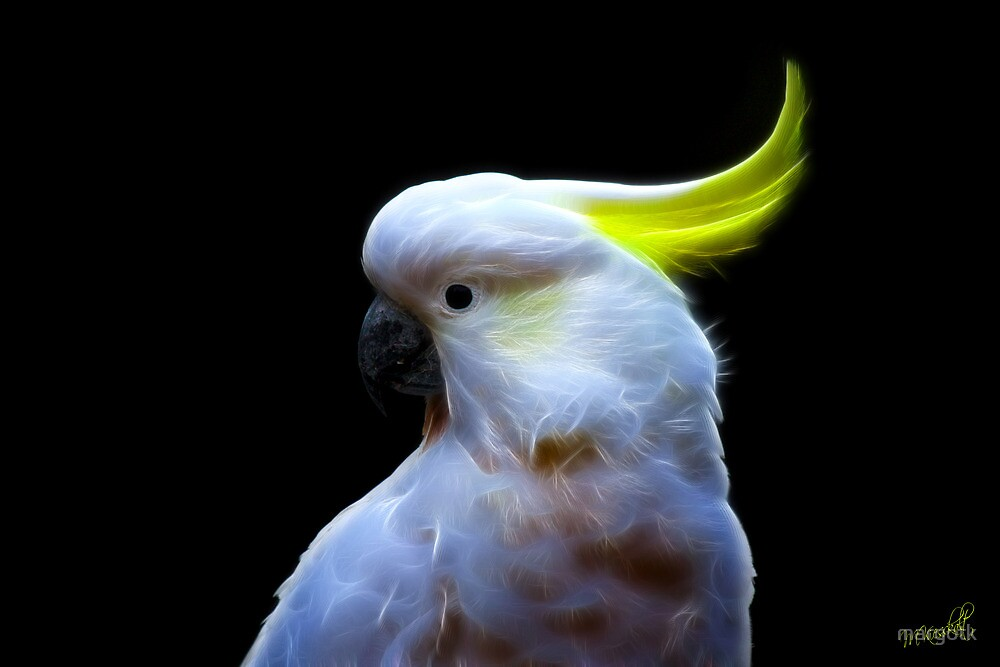 Sulphur-Crested Cockatoo by margotk