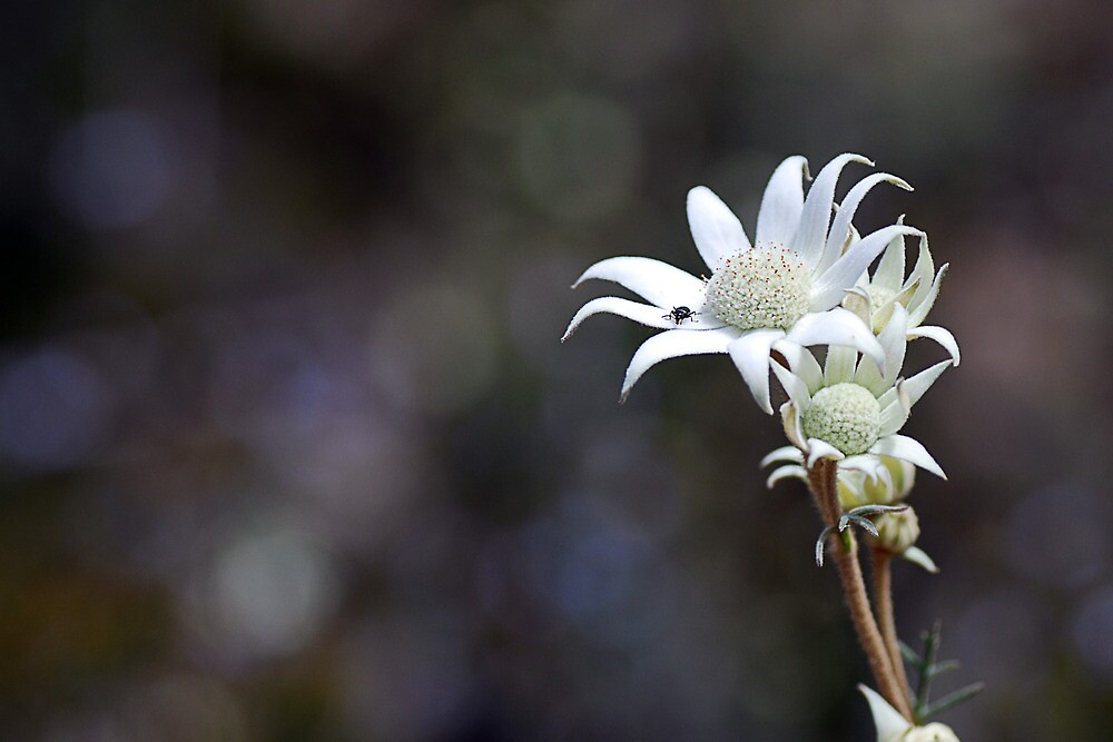 Flannel Flower by Colleen Roberts