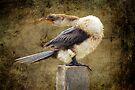 Little Pied Cormorant by Eve Parry