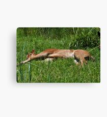 Plumb Tuckered Out. Canvas Print