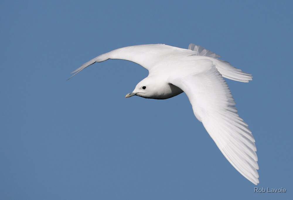 Ivory Gull by Rob Lavoie