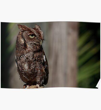 Eastern Screech-Owl (Megascops asio) Poster