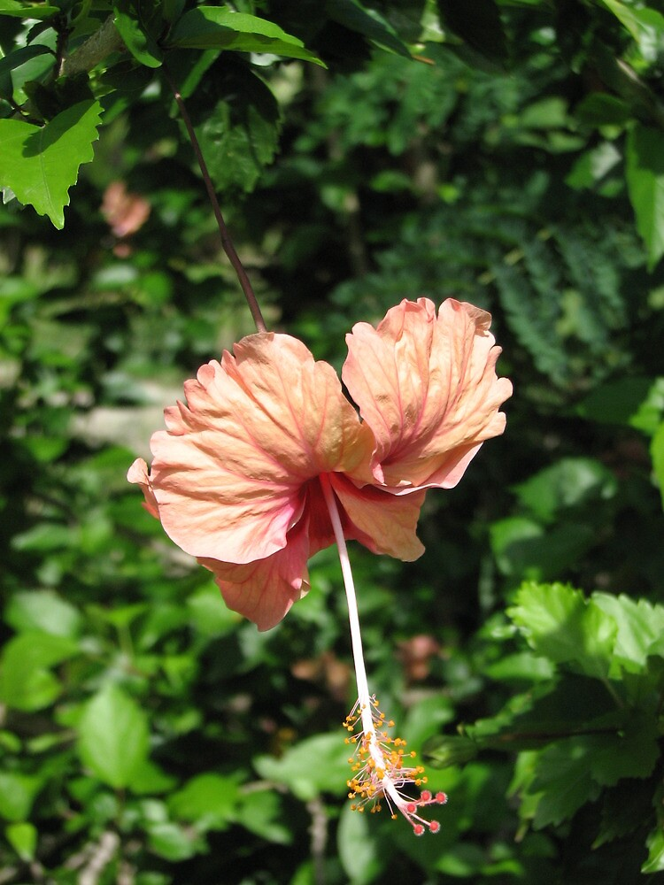 Salmon hibiscus flower 1 by verono972