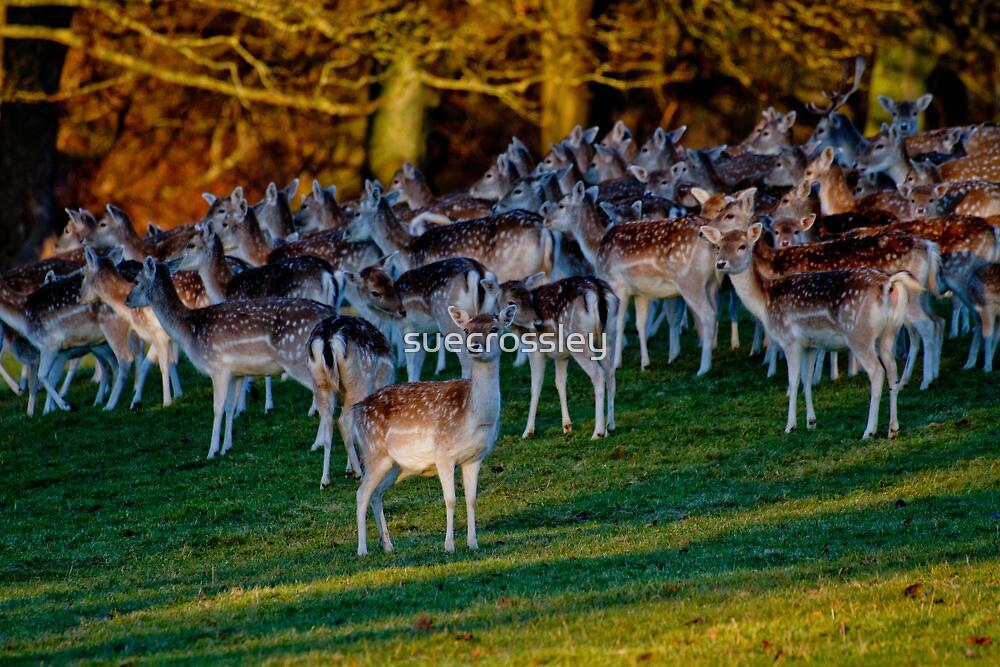 herd of deer by suecrossley