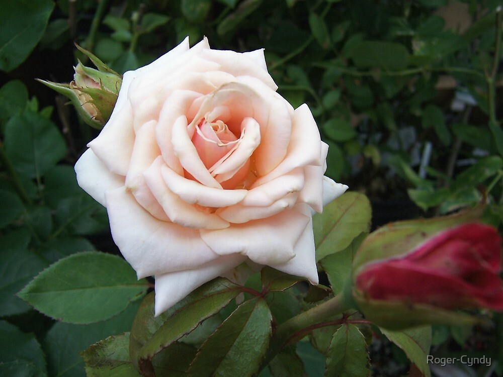 One perfect pink rose by Roger-Cyndy
