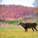 White-tailed deer in Autumn by Alain Turgeon