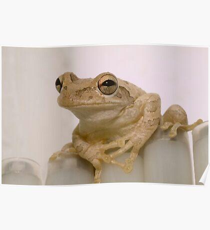 """Amiable Amphibian"" - Cuban Tree Frog Poster"