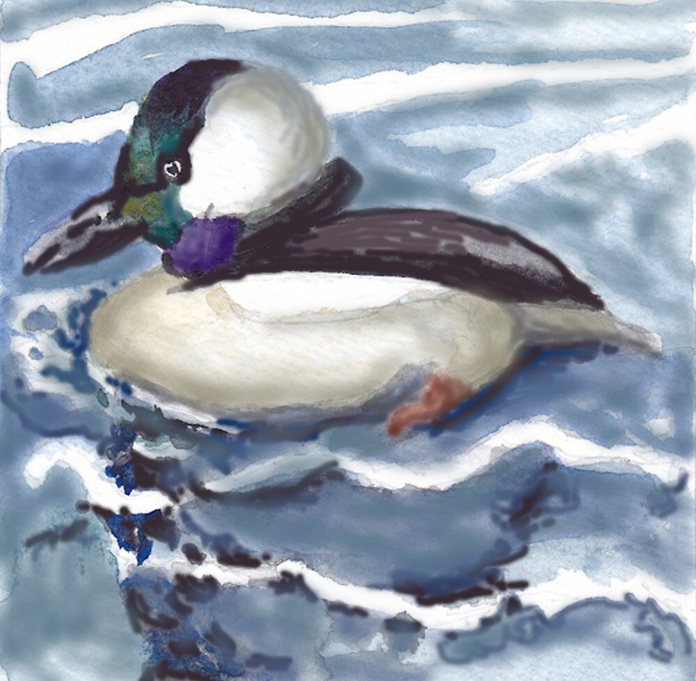 Bufflehead Ducks at Love Point by Phyllis Dixon