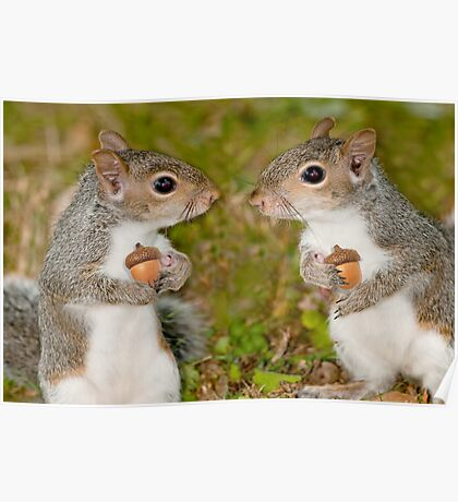 """""""Squirelling Away"""" - eastern gray squirrels with acorns Poster"""