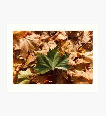 Fallen Maple Leaves Art Print
