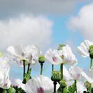 Poppy Field by Judi Rustage