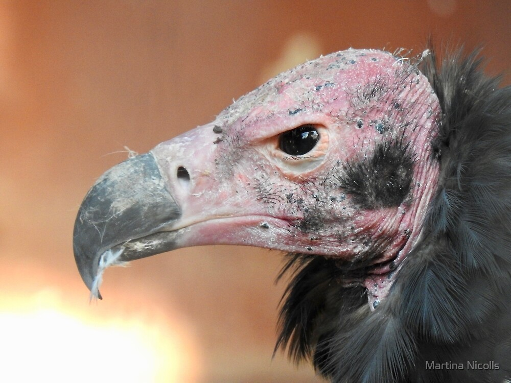 Red-Headed Vulture  by Martina Nicolls