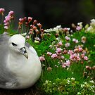 Northern Fulmar by Tom Black