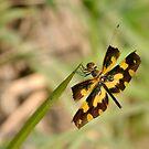 Dragonfly by Amitava Ray