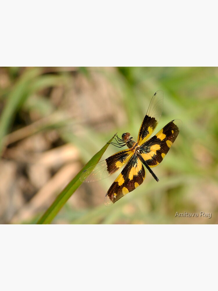 Dragonfly by amitavaray