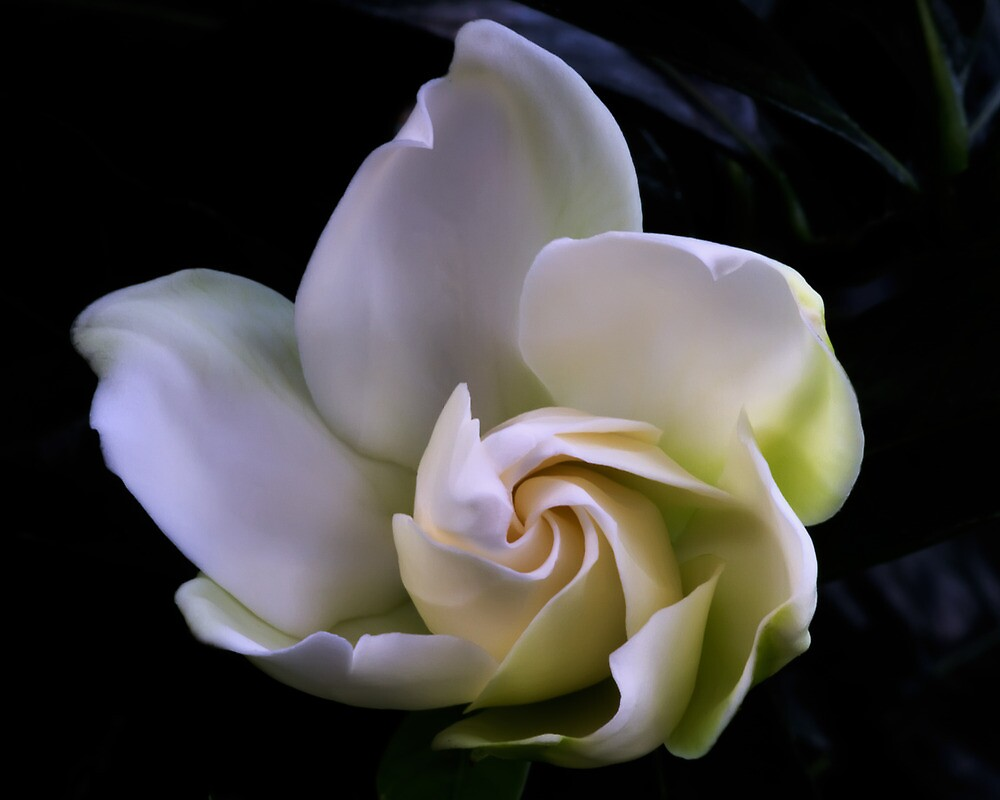 Gardenia by Margaret Barry