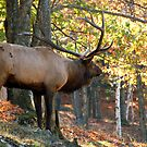 Elk by Alain Turgeon