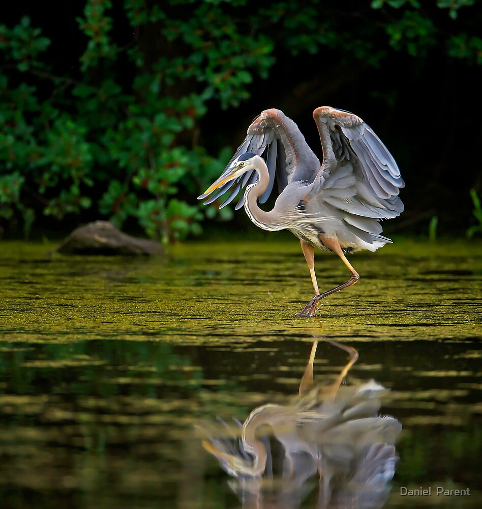 Just stretching my wings by Daniel  Parent