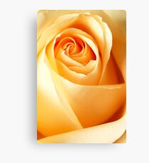 Rose in afternoon light Canvas Print