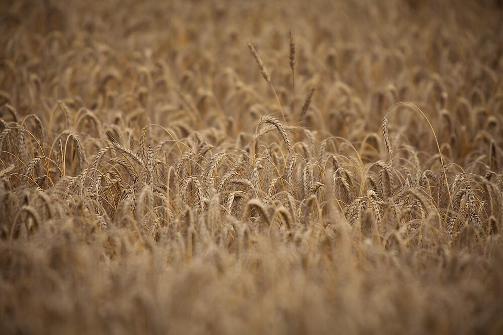 grain field closeup by michielmos